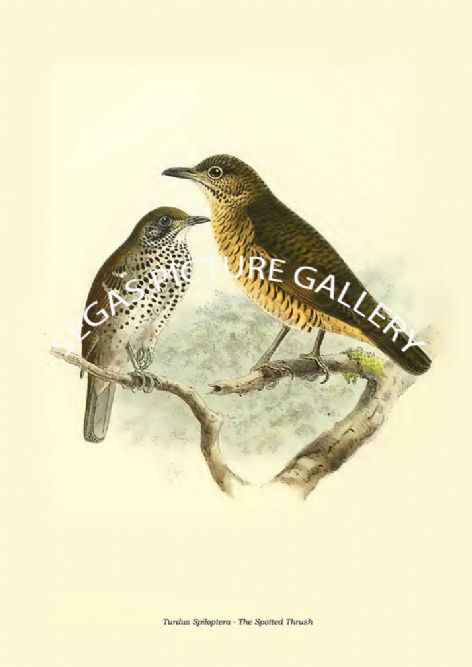 Fine art print of the TURDUS SPILOPTERA - THE SPOTTED THRUSH by Captain W Vincent Legge (1880)